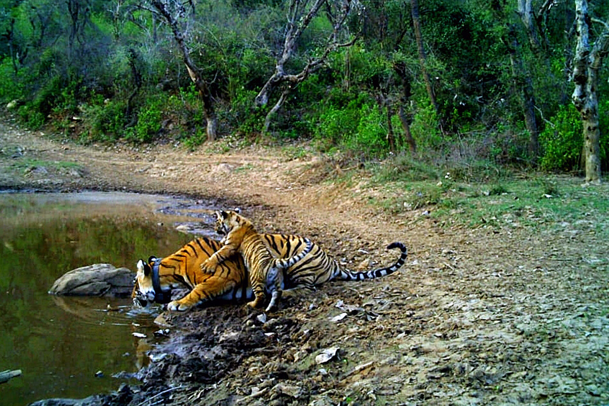 ST-10 tigress with her cub. Photo from Rajasthan Forest Department.