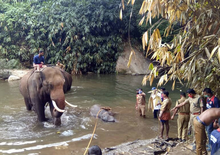 Forest department officials retrieve the dead wild elephant with the help of trained elephants at Thiruvizhamkunnu, after four days of rescue attempts. Photo by P S Manoj.