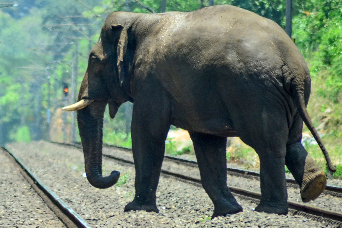 A wild elephant crossing a railway track at Kanjikode-Walayar stretch in Palakkad. Increasing human intrusions in wildlife corridors has resulted in a rise in human-animal conflicts. Photo by P S Manoj.