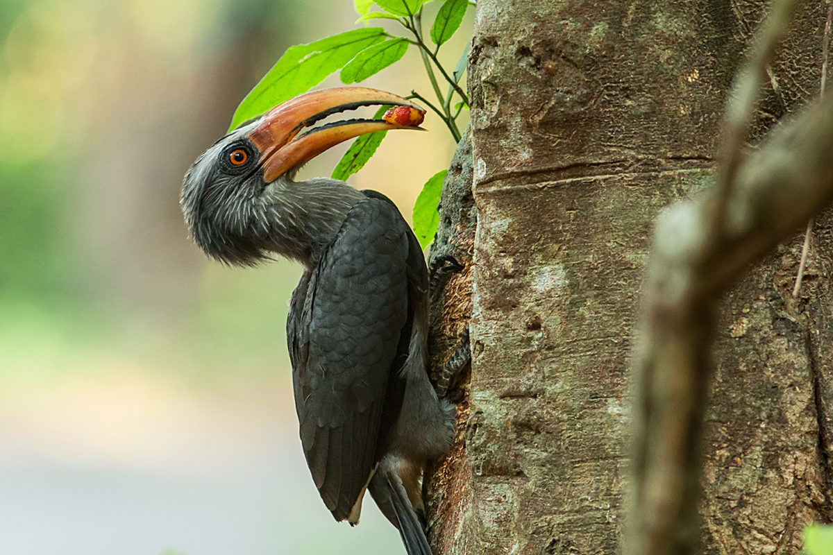 A Malabar grey hornbill close to the proposed Athirappally hydel power project site. Photo by Maheen Hassan.