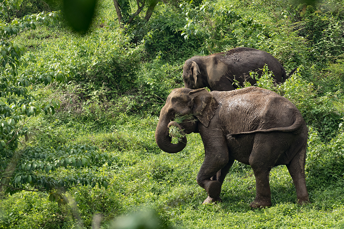 Wild elephants roaming in the forest area in Vazhachal village, the proposed area for the Athirappally hydel project. Photo by Maheen Hassan.