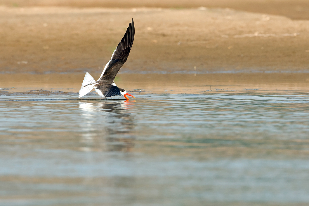 An Indian skimmer skims the water with its longer lower mandible as it flies over river Chambal in Rajasthan. Photo by Koshy Koshy/Flickr.