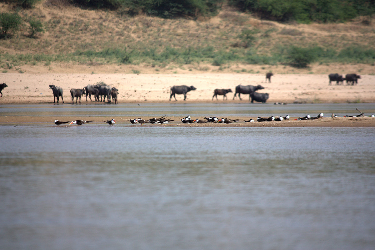 Cattle near a nesting colony of Indian skimmers in river Chambal. When water levels are low, sandbars get connected with riverbanks and result in trampling of nests by grazing cattle. Photo by Suyash Katdare.