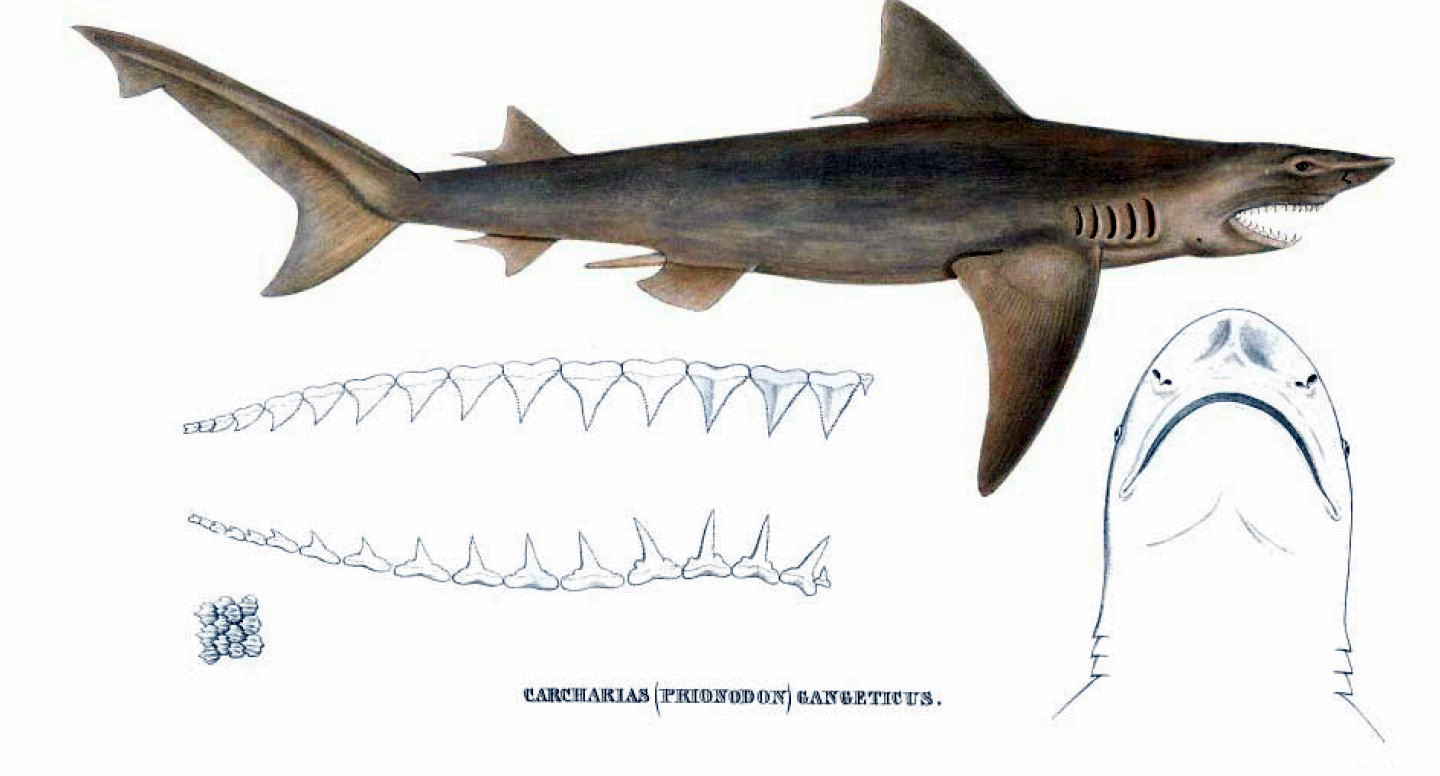 Sketches of the Ganges river shark. The shark is typically found in the Ganga, Hooghly, Mahanadi, and Brahmaputra. Photo courtesy Müller & Henle/Public domain.