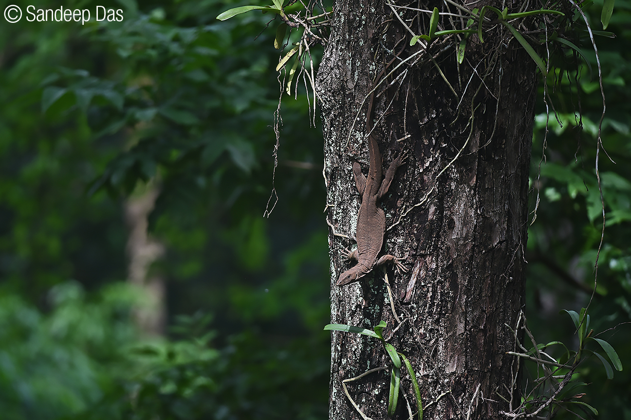 Bengal monitor lizard, an agile climber, is found in many parts of the country. Photo by Sandeep Das.