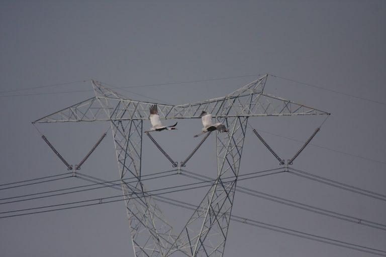 electricity wires threaten sarus cranes