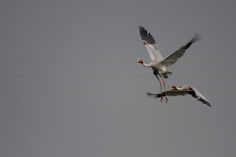 sarus cranes are threatened by electricity wires