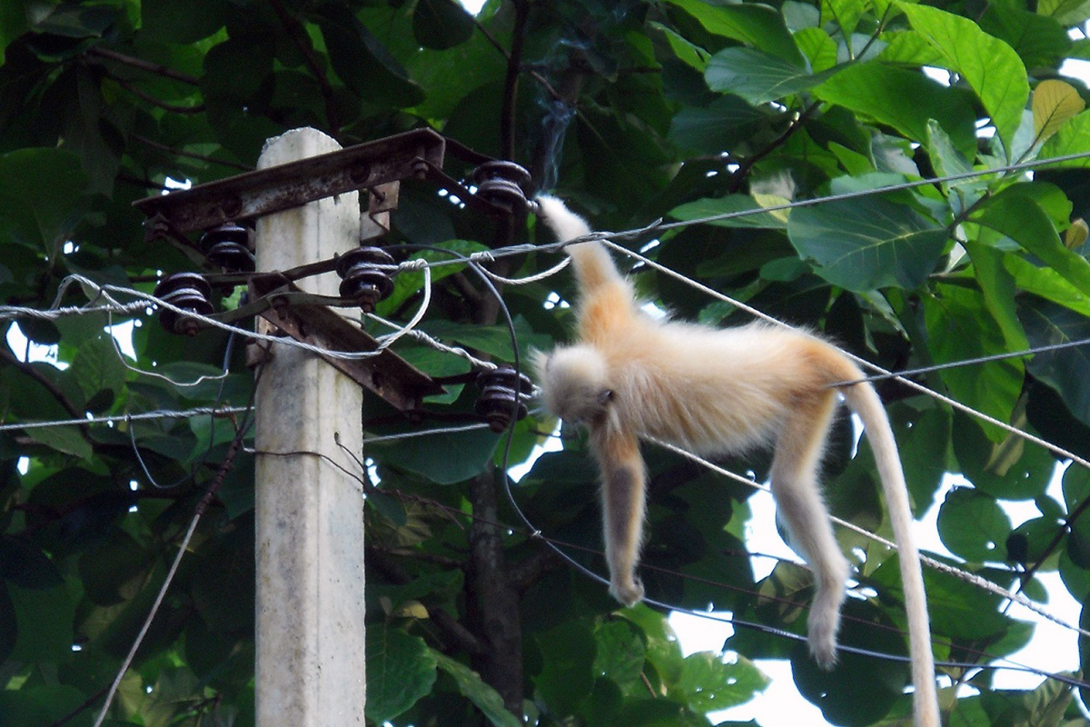 Much of Assam's golden langur population occurs in fragmented forests. Roadkills and electrocution by low-slung live wires threaten the species too. Photo by J. Shil.