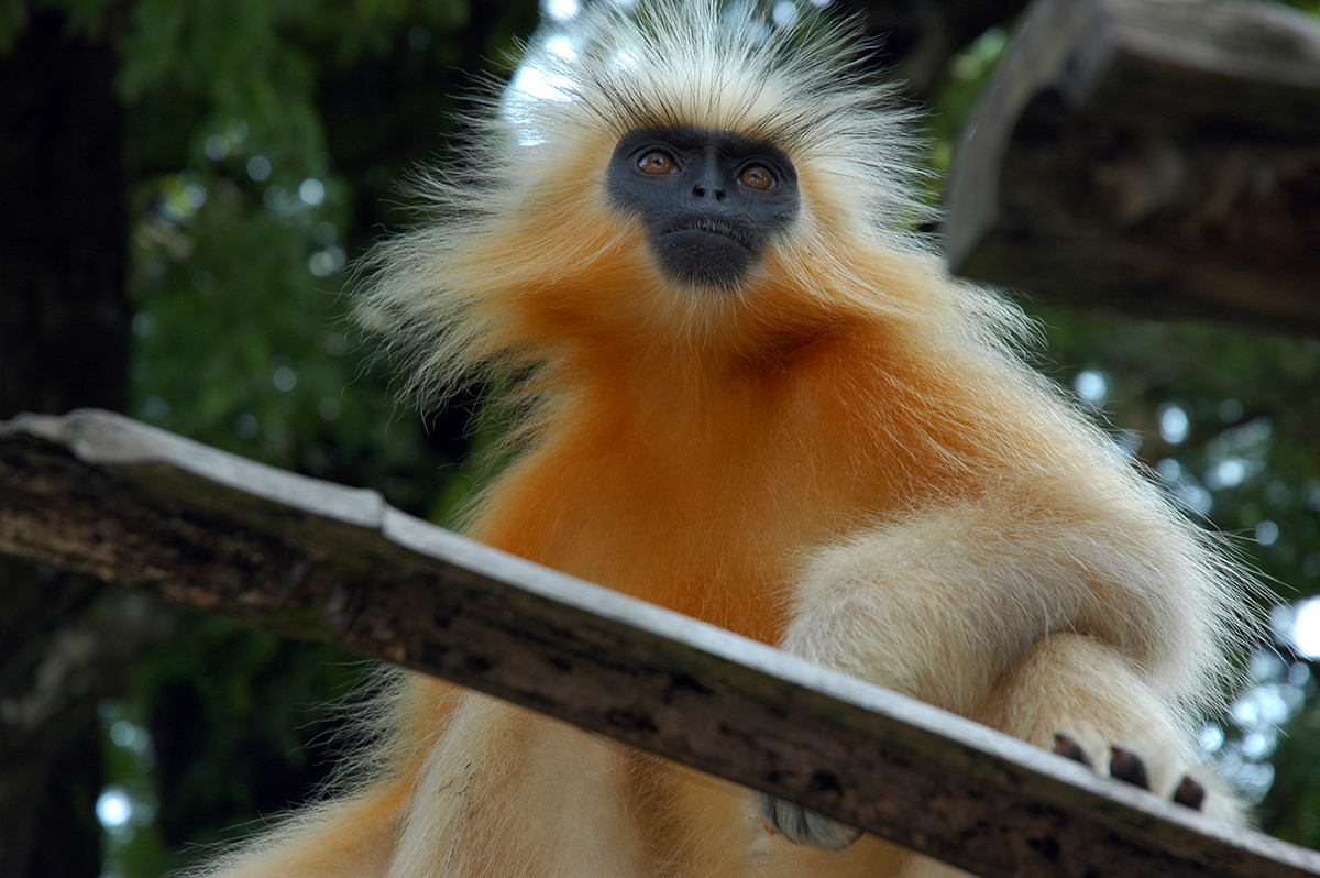 The golden langur is endemic to northeast India and Bhutan. It is one of the world's most endangered primates. Photo by Doniv79/Wikimedia Commons.