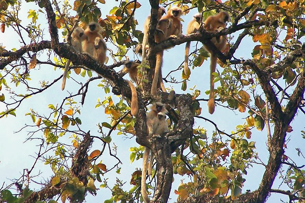 A golden langur troop. The animal spends 99 percent of their time on trees. Photo by J. Biswas.