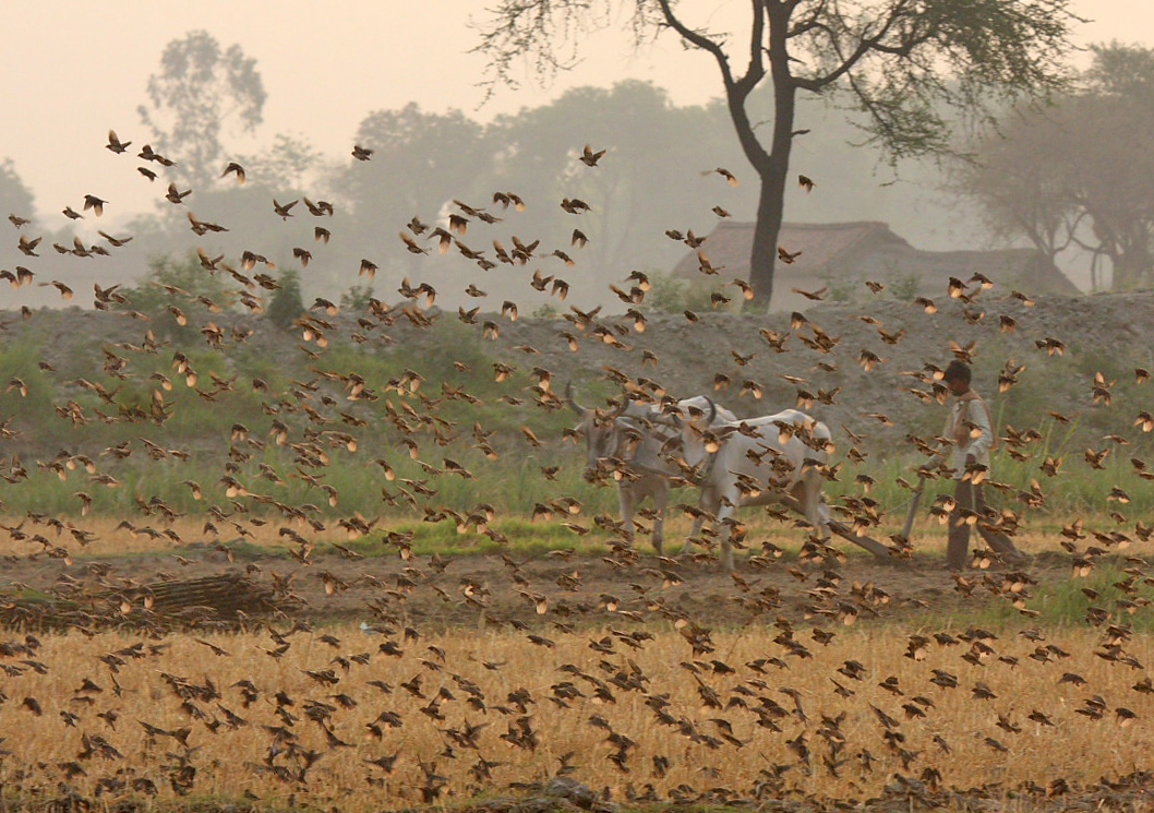 Black-breasted weaver flock on a farm in Uttar Pradesh. Photo by Gopi Sundar.