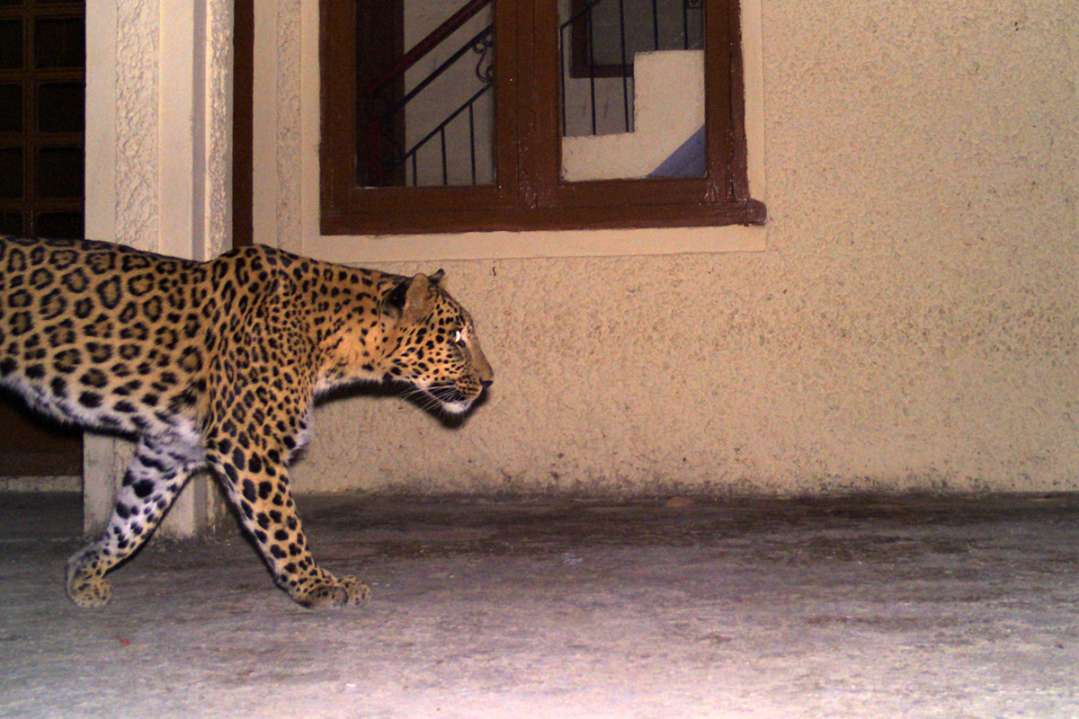 "A leopard Shongi, Himachal Pradesh. Researchers found that in the villages of Hamirpur district, people relate to wild cats as ""thinking beings"" with whom they can ""negotiate"" space with, a language that's not used often in modern conservation. Photo by Himachal Pradesh Forest Department."