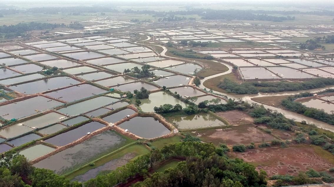 Shrimp farms in Baguran Jalpai, West Bengal. Photo by Kaelyn Maehara.