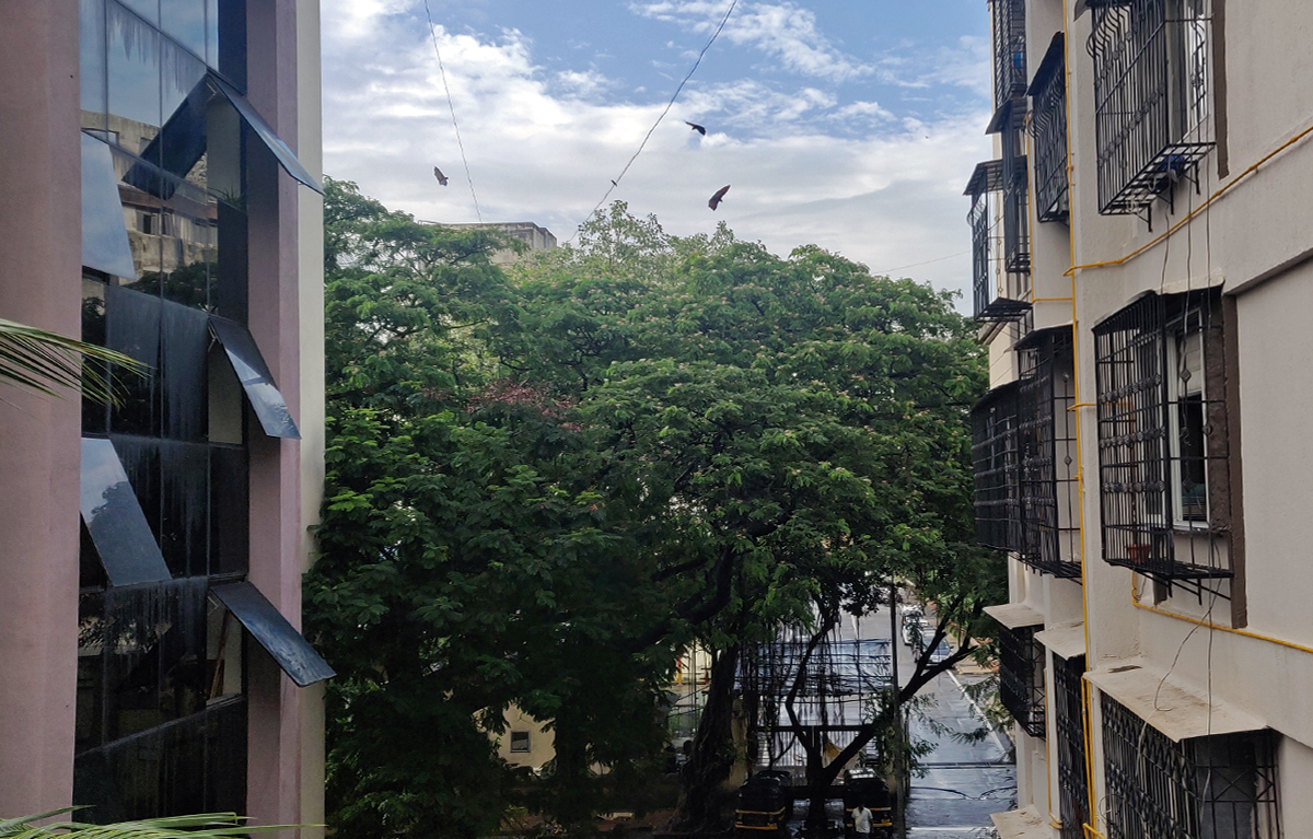 A roosting site, a place where bats settle for rest or sleep, on a tree amidst buildings in Mumbai. Urban green spaces are vital as they host a variety of living organisms. Photo by Sejal Mehta.