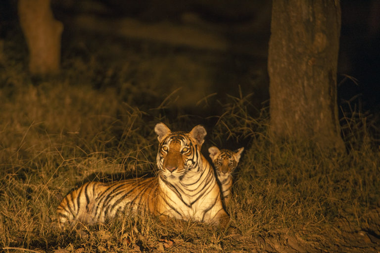 According to the latest report released by the Indian government, over 1,000 tigers out of 2,967 are estimated to be living outside tiger reserves. Photo by Kalyan Varma.