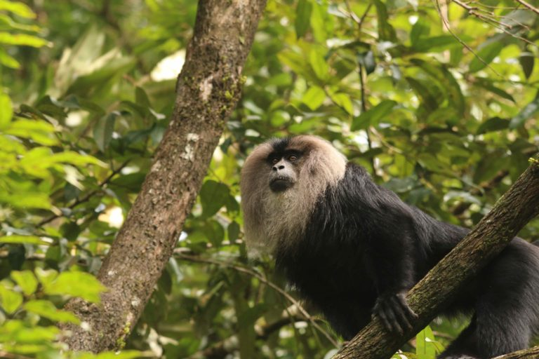 The lion-tailed macaque, a key species in Silent Valley, in the buffer zone near Mannarkkad. Photo by K A Shaji.