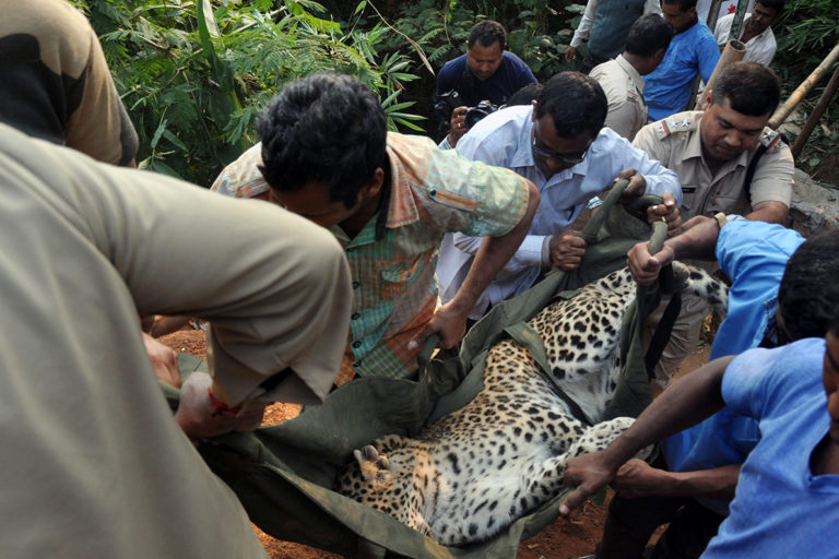 Zoo officials rescue a leopard from a dry well after it was tranquilised in a residential area of Guwahati in 2017. Photo by Manash Das.