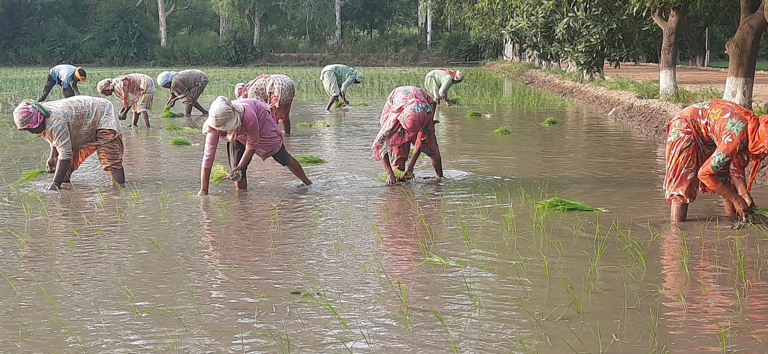 Planting of paddy seedlings in Patiala