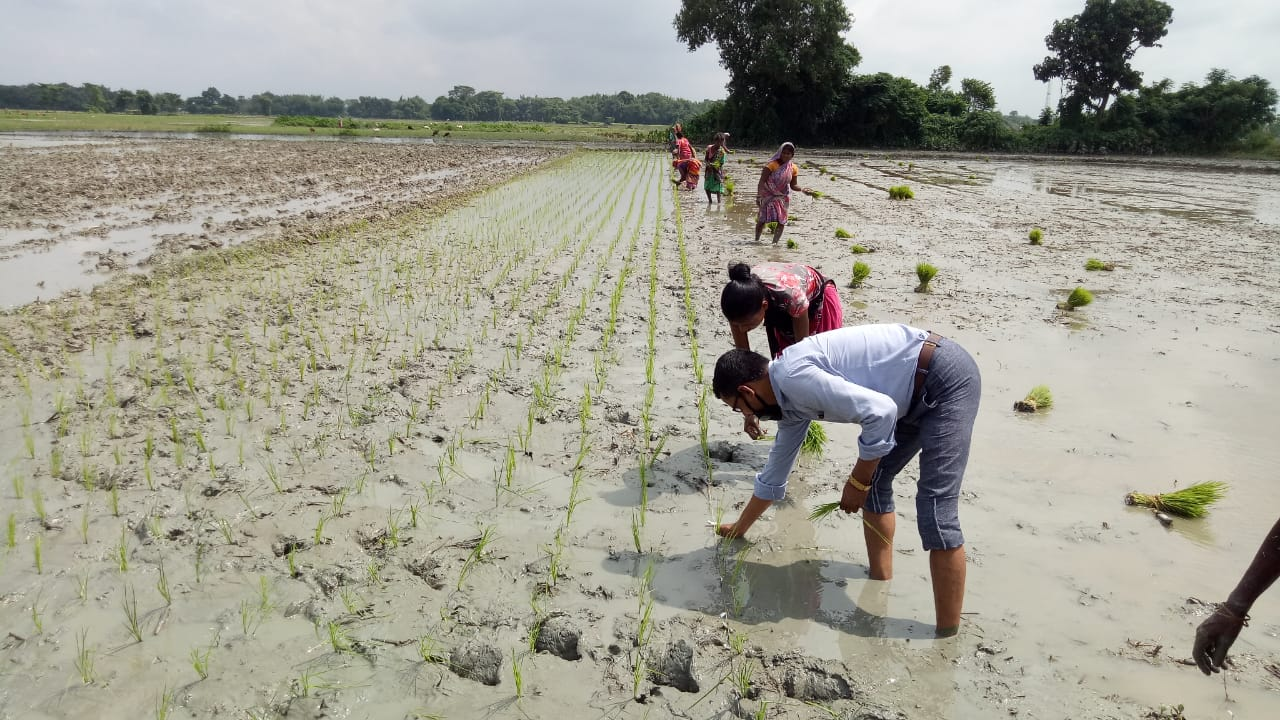 Migrant workers planting paddy seedlings in a Bihar farm