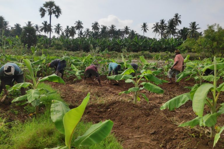 Banana cultivation in V.S. Arunachalam's Tamil Nadu farm.
