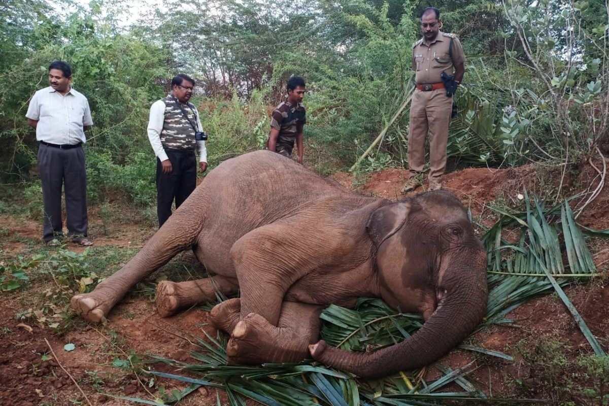 A young female elephant which died despite treatment near Annaikatti on July 2.