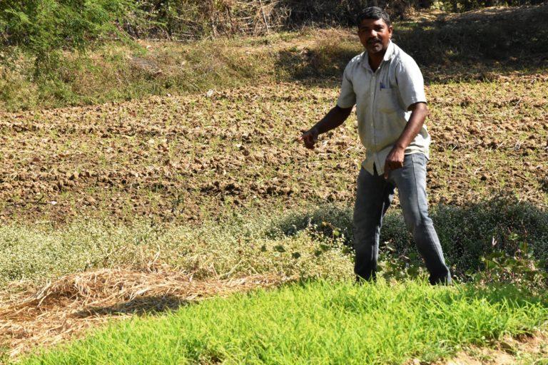 Ragi cultivation