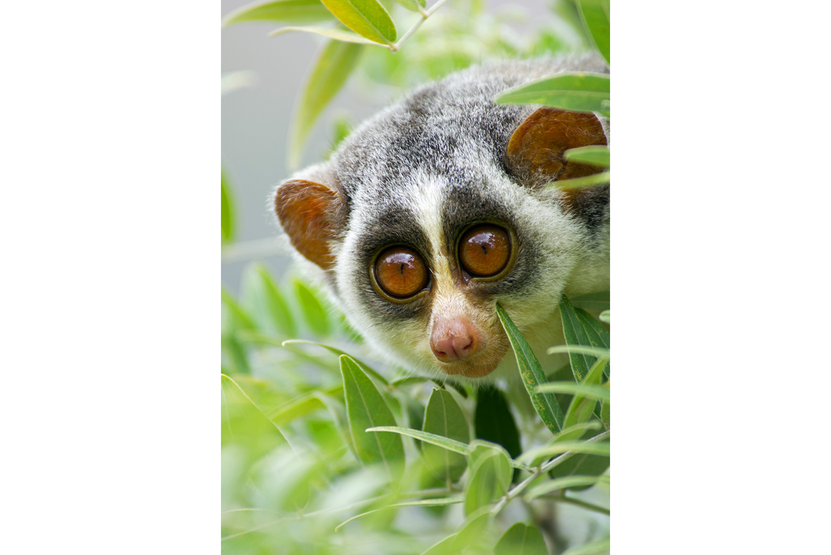 The gray slender loris, which spends most of its time in canopies, is found across peninsular India and parts of Sri Lanka. The animal is also found in a busy city such as Bengaluru. Photo by Angad Achappa/Urban Slender Loris Project.
