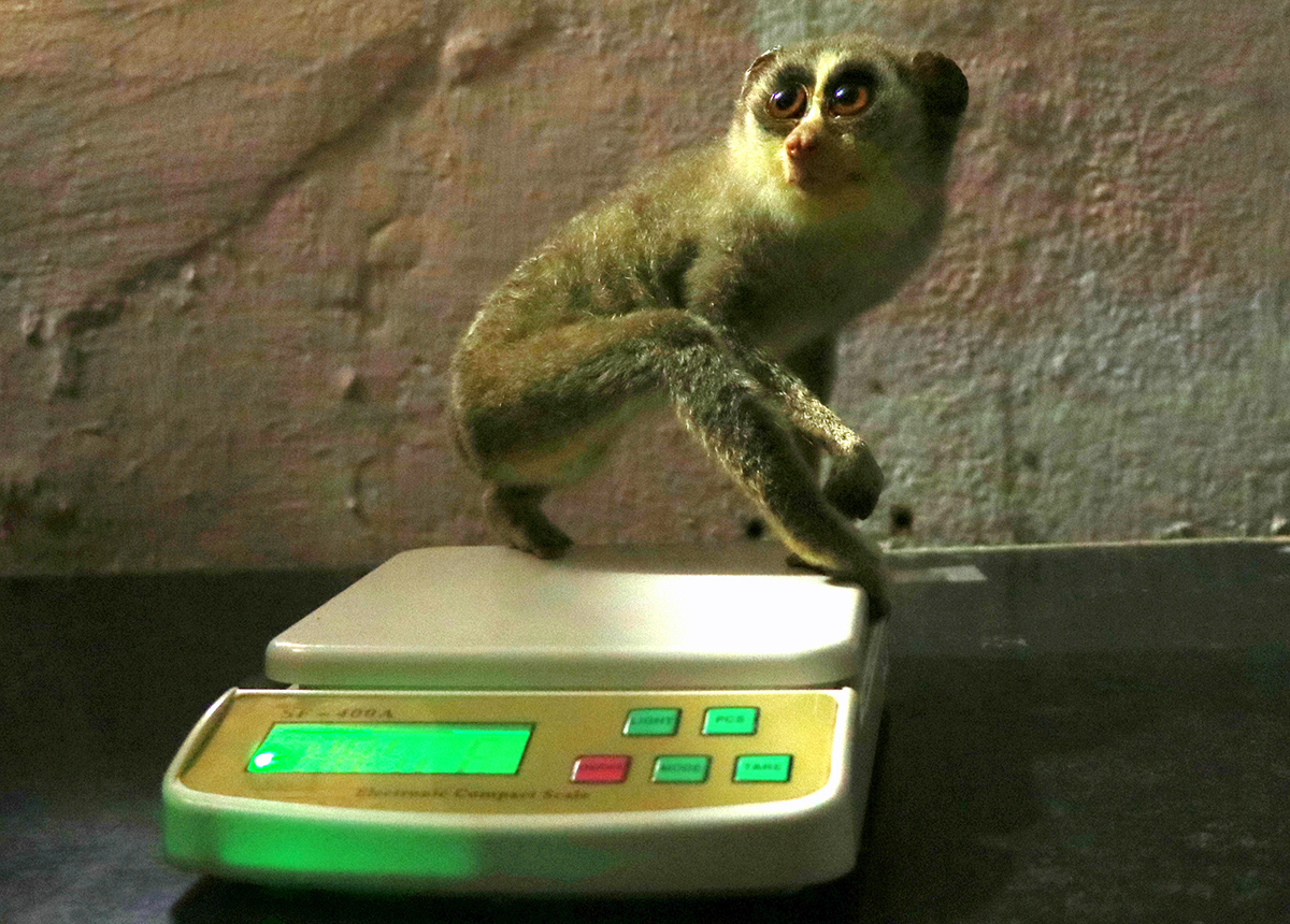 A rescued slender loris being weighed. Photo from People for Animals, Bengaluru.