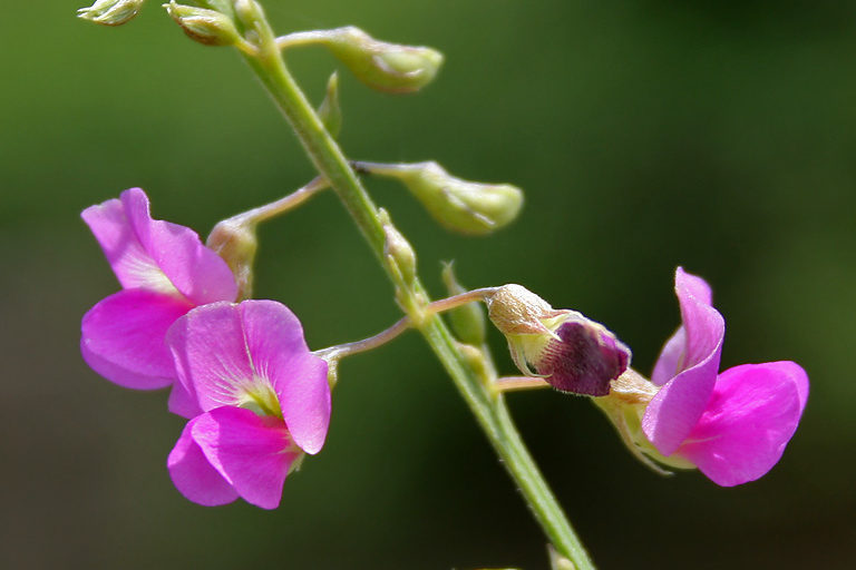 Tephrosia purpurea (wild indigo), an alternative to exotic hedge species typically used in landscaping. Photo by J. M. Garg.