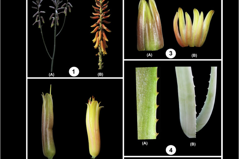 Plant parts of Aloe trinervis and Aloe vera (A & B) were compared with respect to (1) inflorescence, (2) corolla ventral view, (3) corolla dorsal view, (4) teeth arrangement, (5) bud, (6) floral bract, (7) teeth shape. Photo: C.S. Purohit & R.N. Kulloli.