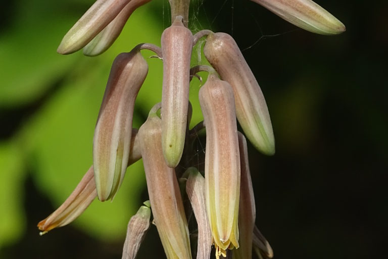 Inflorescence of Aloe trinervis. Photo by Ravikaran N. Kulloli.