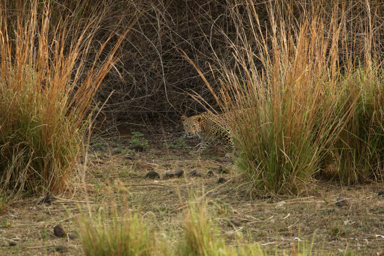 Several leopards have been recorded in the Dumna Nature Reserve. Photo by Amit Sharma.