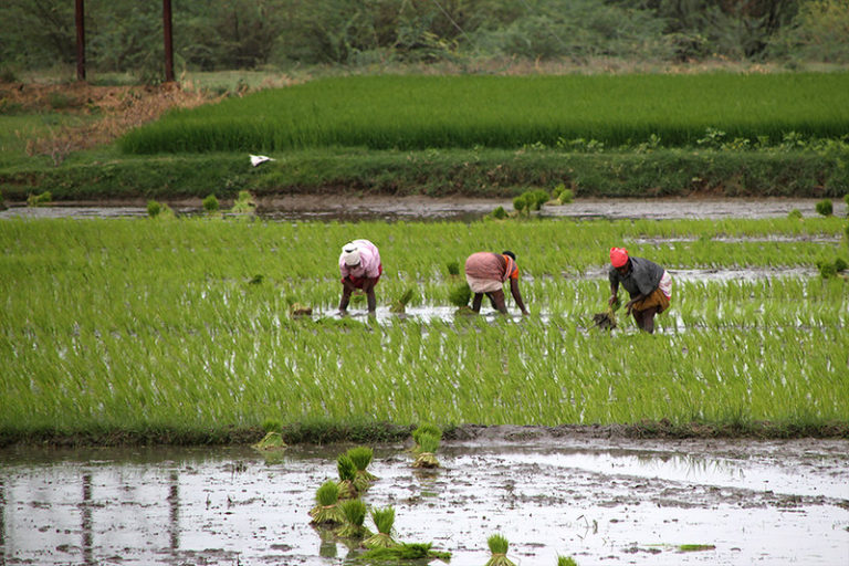 Millions of people are involved in farming across India. Photo by Aschevogel/Flickr.