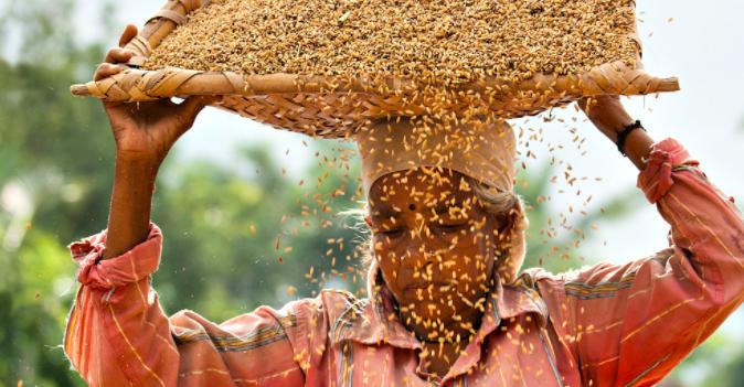 Paddy harvesting at Tasrak. Photo by Guffu.