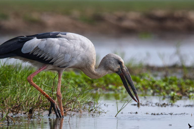 Asian openbill stork in a wetland. Photo by Sumanta Pramanick/Flickr.