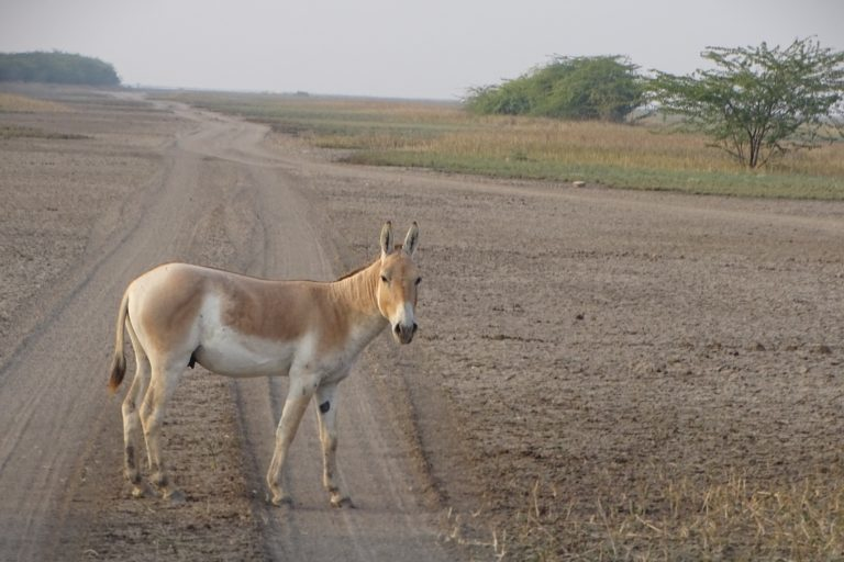 The iconic Asiatic wild ass or Khur which is the flair of the landscape. Photo by Abhijit Dutta.