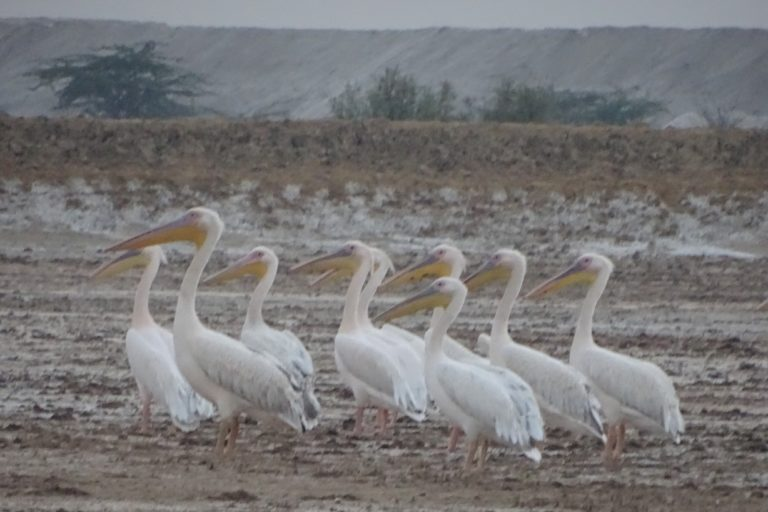 Pelicans in LRK with huge heaps of unearthed mud in the background. Photo by Abhijit Dutta.