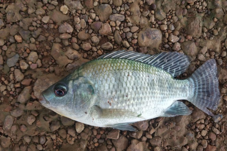 "Mozambique tilapia (Oreochromis mossambicus) made it to of the ""100 of the World's Worst Invasive Alien Species""."