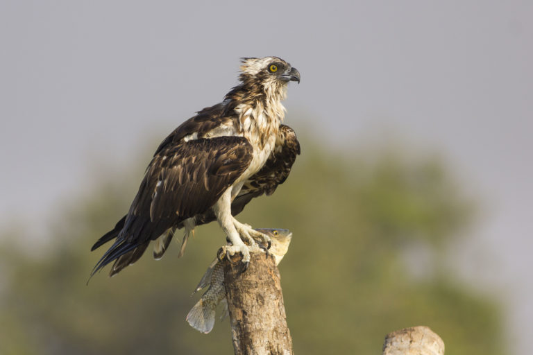 An Osprey with a feral Mozambique tilapia freshly caught from Goa's Zuari river. Photo by Rahul Alvares.