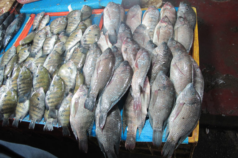 Pearlspot (left) and Mozambique tilapia (right) being sold together at the Ernakulam fish market, Kerala. Photo by Aaron Savio Lobo.