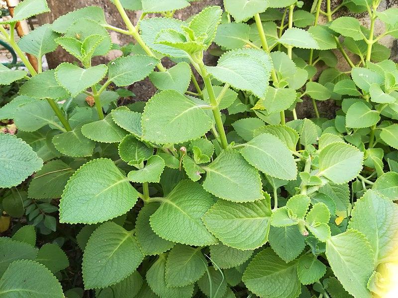 Medicinal plant. Photo by Babitha managalore/Wikimedia Commons.