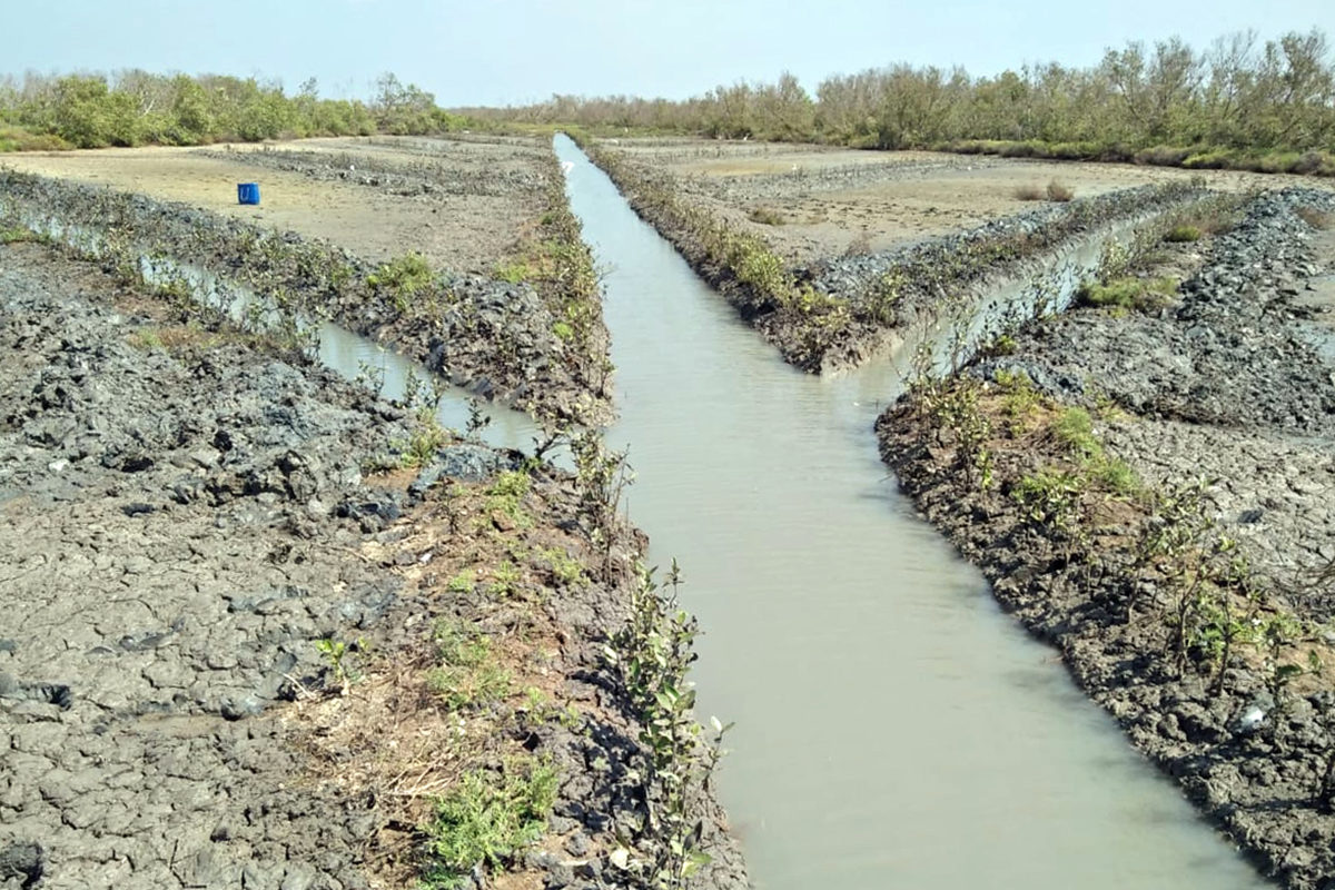 An artificially dug canal lined by replanted mangrove saplings. Photo by Sankar.