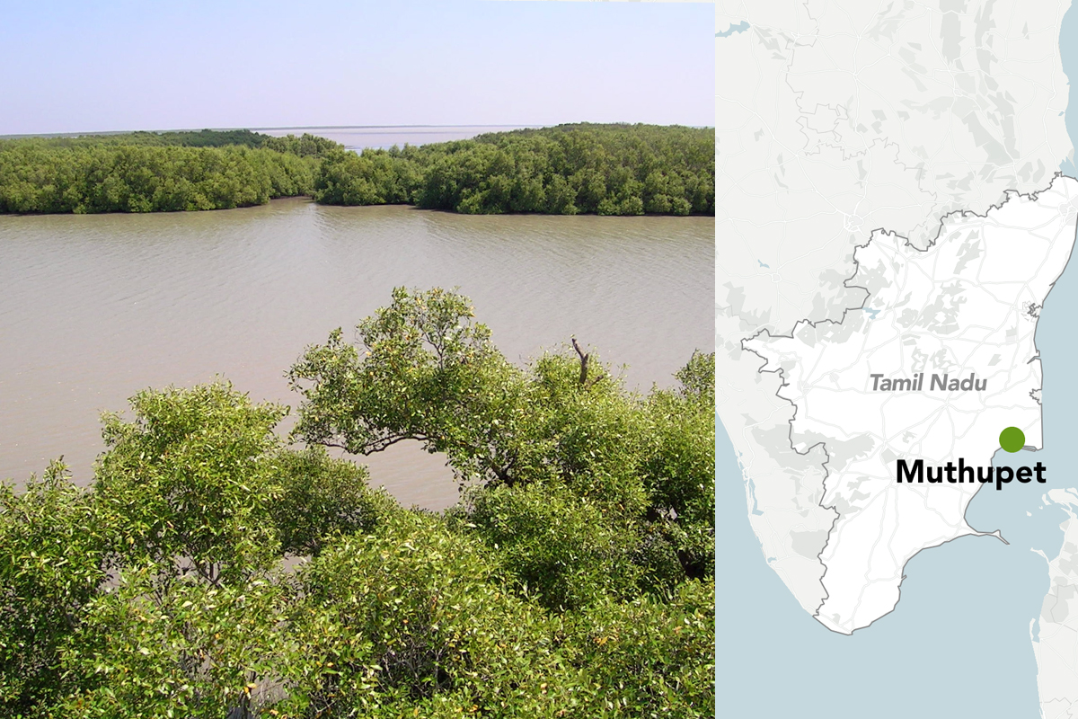 Mangroves depend on a delicate balance of fresh and sea water. Muthupet's mangroves have seen a decline due to changes in rainfall patterns. (L) Photo by L. Shyamal/Wikimedia Commons and (R) Map made with Datawrapper.