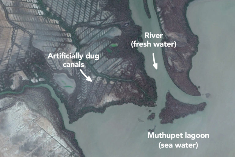 3,000 canals were dug across 5,000 hectares in Muthupet to feed fresh water to the mangroves while flowing into the sea.Salinity levels in Muthupet increased due to changes in rainfall patterns and reductionin river water levels. Image from Google Maps.