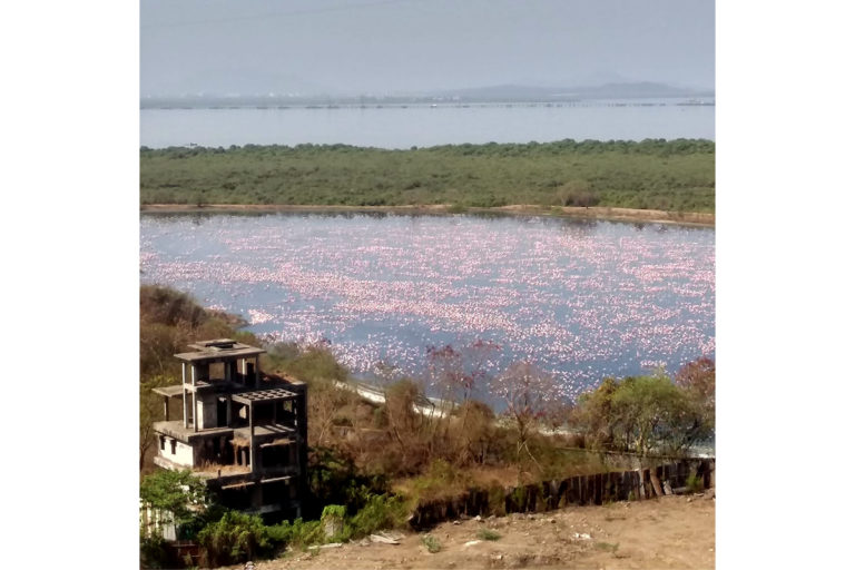 A layer of pink dots Navi Mumbai's wetlands. These urban habitats are home to several species of birds, amphibians, and other wildlife. Photo from Sunil Agarwal.