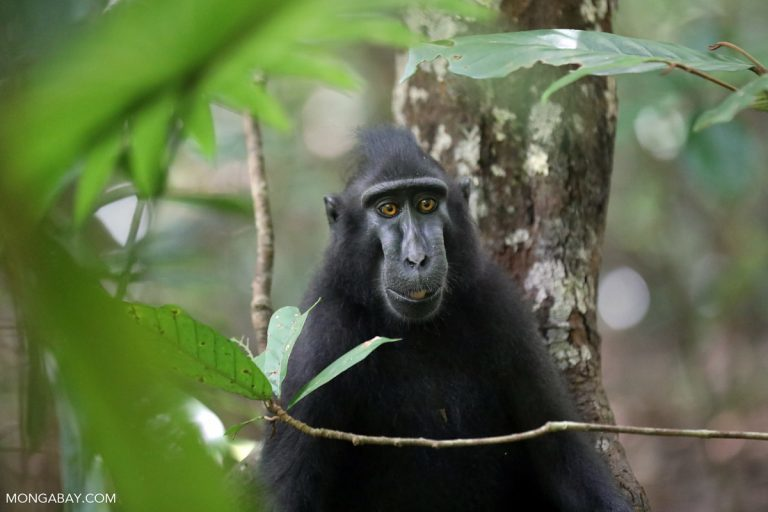 Crested black macaque. Image by Rhett A. Butler / Mongabay.