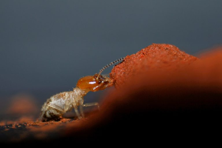 A single individual of the termite Odontotermes obesus. Photo by Nikhil More.