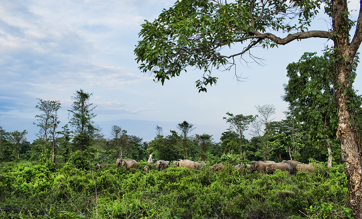 A herd inside Kolabari reserve forest area. The elephants walk through landscapes fragmented by farms, roads, railway and human settlements in North Bengal to reach this patch and then head to Nepal. Photo by Avijan Saha.
