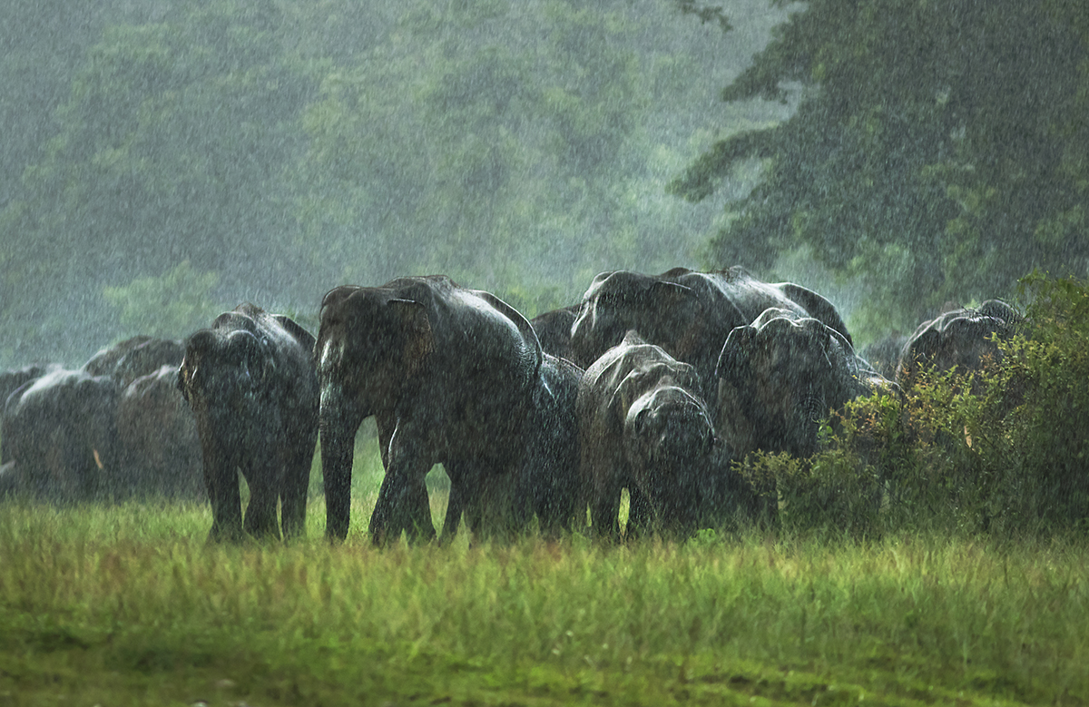 A herd of elephants near Kolabari reserve forest. Asian elephants migrate over long distances searching for food and shelter, across states and countries. Photo by Avijan Saha.