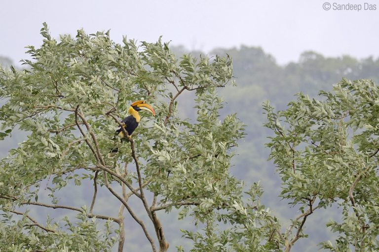 Great hornbills use the evergreen forests in the Vazhachal Forest Division. Photo by Sandeep Das.